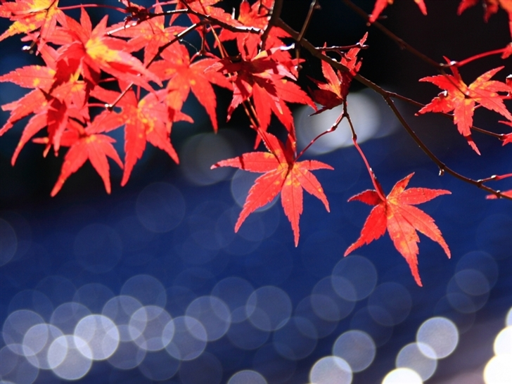 Japanese Maple Leaves Bokeh Mac Wallpaper