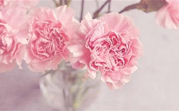 Light Pink Carnations Flowers All Mac wallpaper