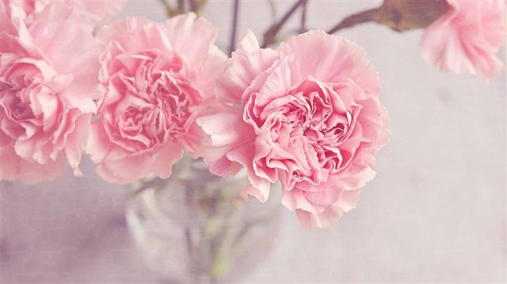 Light Pink Carnations Flowers Mac Wallpaper