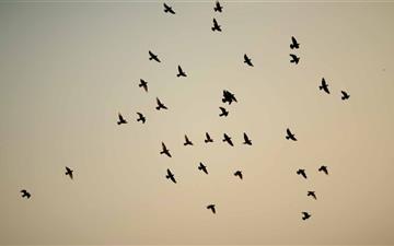 Pigeon Flock Mac wallpaper
