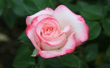 Pink White Rose Mac wallpaper