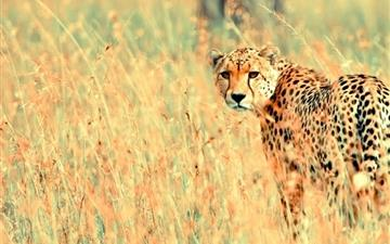 Wild Cheetah MacBook Air wallpaper