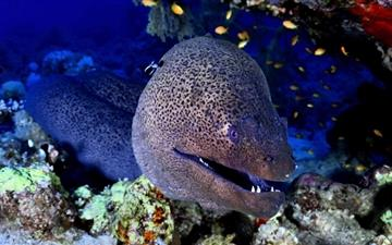 Giant Moray Red Sea MacBook Pro wallpaper