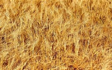 Golden Wheat Field Mac wallpaper