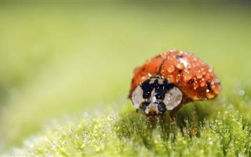 Ladybug Super Macro Mac wallpaper