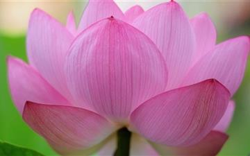 Pink Lotus Flower Mac wallpaper