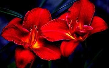 Red Lilies Mac wallpaper
