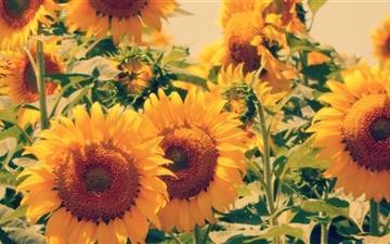 Sunflower Wallpaper Macbook Air Wallpaper Stan