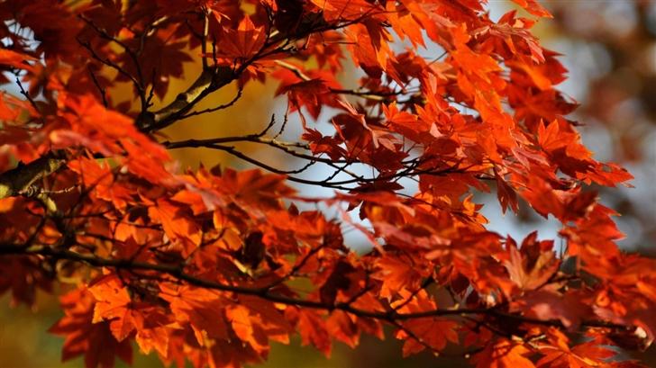 Japanese Maple Tree Mac Wallpaper Download Allmacwallpaper