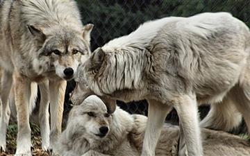 The Wolves Mac wallpaper