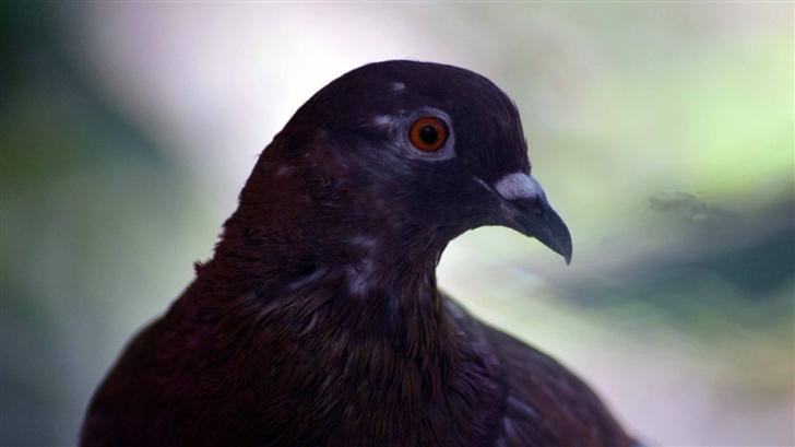 Pigeon Orange Eyes Mac Wallpaper
