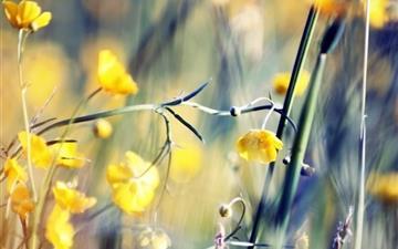 Buttercups Mac wallpaper