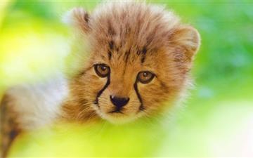 Cheetah Cub Face Mac wallpaper