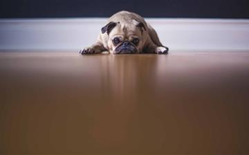 Saddest Pug Dog Mac wallpaper