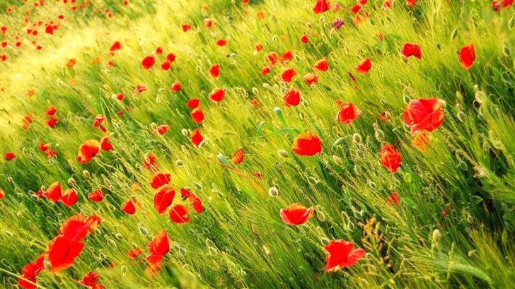 Poppy Field Mac Wallpaper