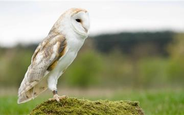 Barn Owl Mac wallpaper