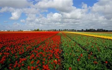 Vast Tulips Field Mac wallpaper