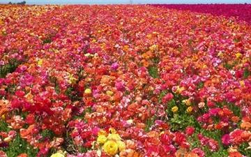 Ranunculus Field Mac wallpaper