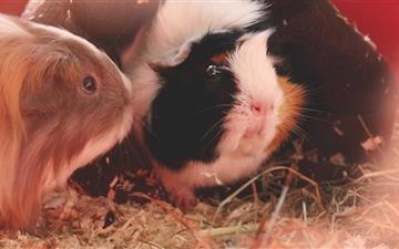 Cute Guinea Pigs Mac wallpaper