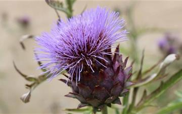 Purple Thistle Flower Mac wallpaper
