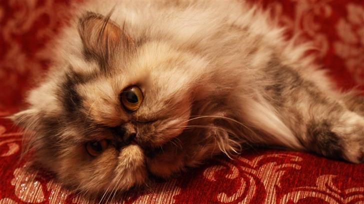 Persian Cat Mac Wallpaper
