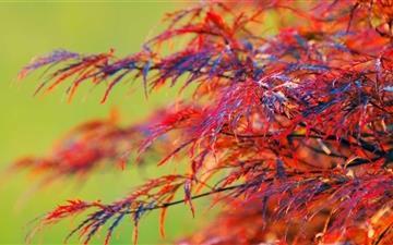 Red Leaves Shrub Mac wallpaper