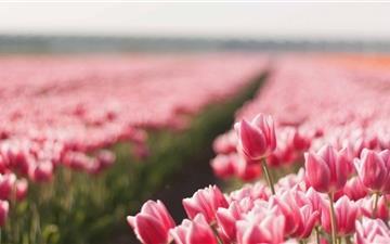 Tulips Field Mac wallpaper