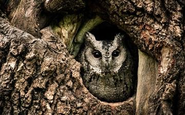 Collared Scops Owl All Mac wallpaper