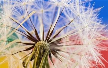 Dandelion Seeds  Mac wallpaper
