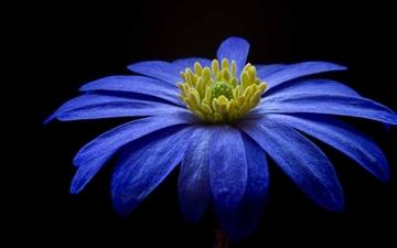 Balkan Anemone Flower All Mac wallpaper
