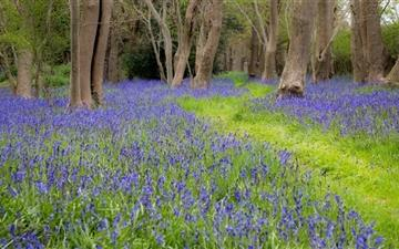 Bluebell Flowers Grove Spring Mac wallpaper