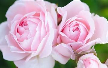 Pink Roses Mac wallpaper