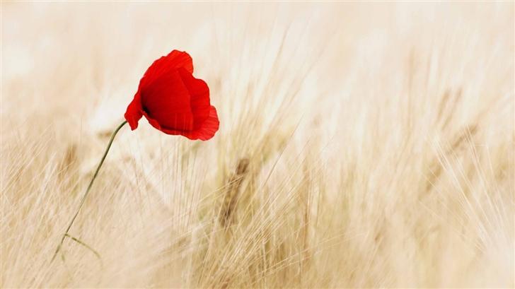 Red Poppy Golden Wheat Field Mac Wallpaper