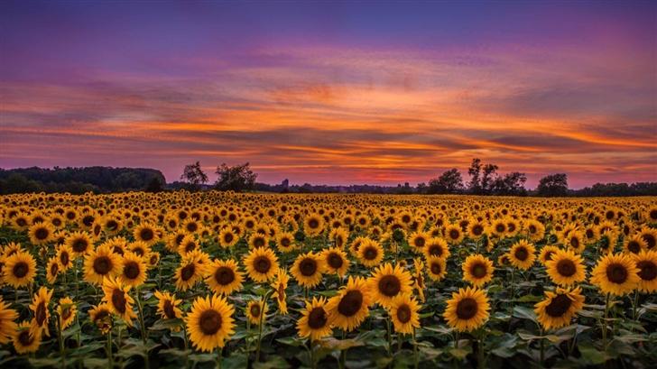 Sunflower Field Mac Wallpaper