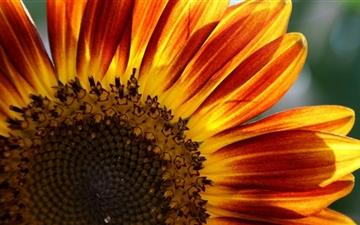 The Sunflower All Mac wallpaper