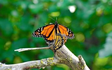 Monarch Butterflies Mating Mac wallpaper