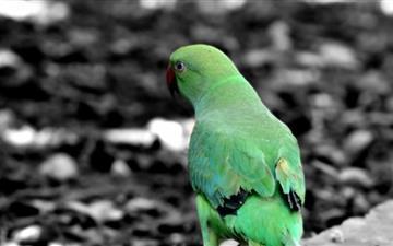Green Parrot Mac wallpaper