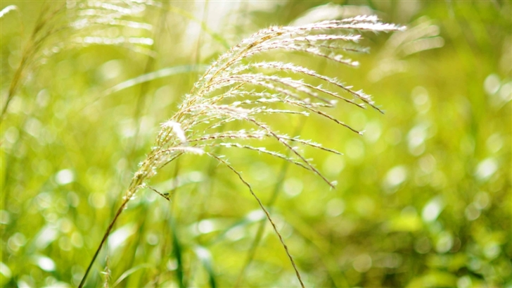 Japanese Pampas Grass Mac Wallpaper
