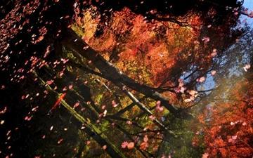 Maple Leaves Floating  Mac wallpaper