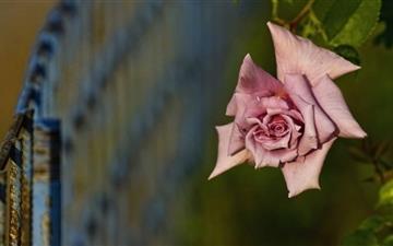 Pink Rose Mac wallpaper
