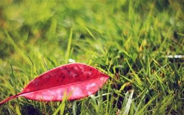 Red Fallen Leaf Mac wallpaper