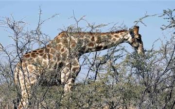 Giraffe Eating From A Tree Mac wallpaper