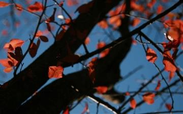 Tree With Red Leaves Autumn Mac wallpaper