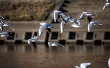 Gulls Japan Mac wallpaper