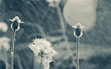 Rain Flower Mac wallpaper