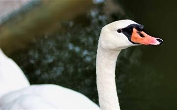 White Swan Mac wallpaper