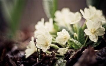 Small White Flowers Mac wallpaper