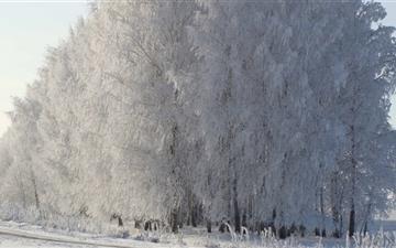 Birch Forest Mac wallpaper