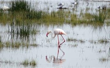 Flamingo Kenya Mac wallpaper