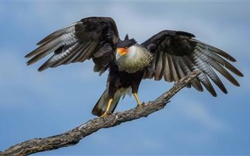 Crested Caracara Bird Texas Mac wallpaper